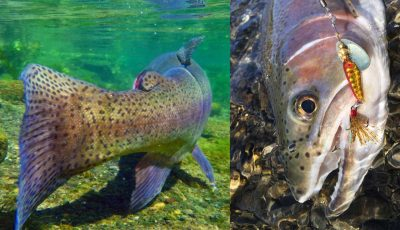 underwater rainbow trout